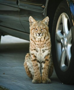 "That's not a kitty waiting for a ride in the family car. Sometimes neighborhoods along the Scenic Drive are visited by critters like this bobcat. ""Urban Bobcat"" by Kim Perina, Winner, Summer Fun Photo Contest, 2008"