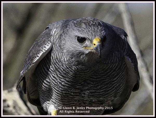 Walking in beauty arizona sonoran desert museum a peek for Gray hawk