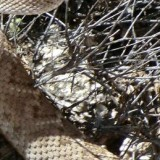 Rattlesnakes and Lyme Disease