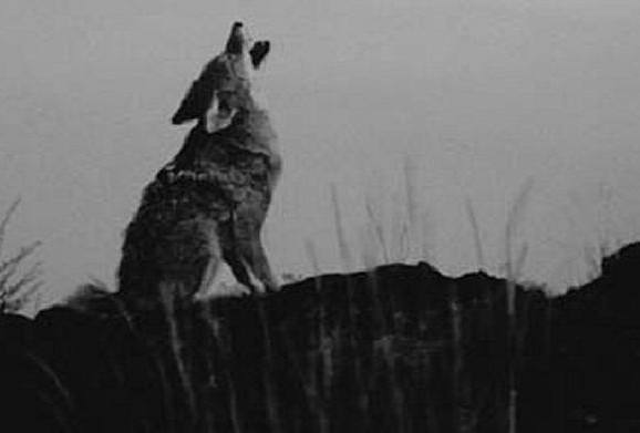 Giant Coyote Discovered
