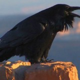 On The Wild Side: The Raven Steals the Sun