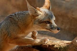 Kit Fox – An Adorable Desert Denizen