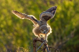 Video: The Great Horned Owl 2016